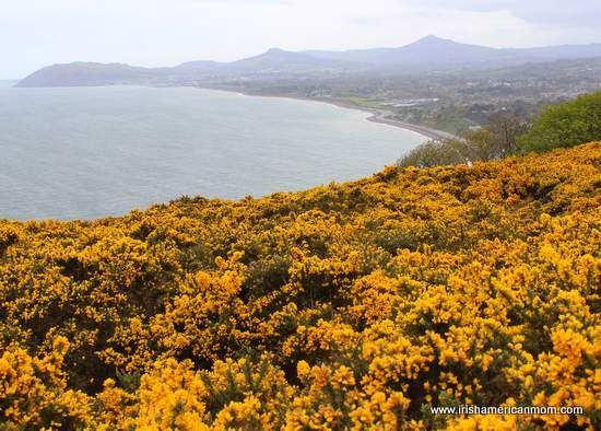 Furze - The Yellow Flower Of The Irish Landscape