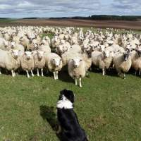 When Sheepdogs Dream