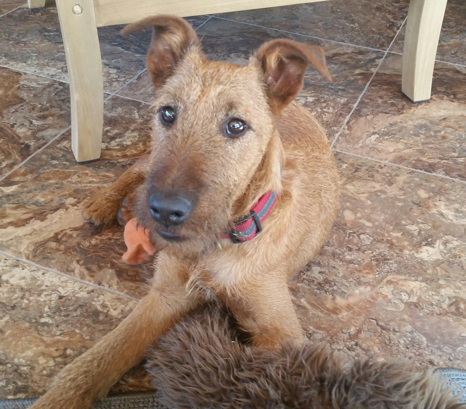 Fullsize Of All Terrier Rescue