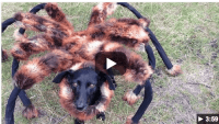 Pet Halloween Costume Idea: Giant Spider Dog Costume ...