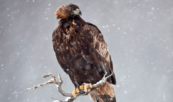 Golden Eagle in snow storm