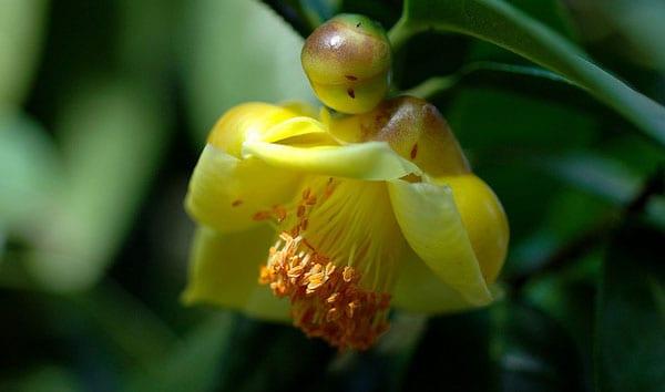 Camellia chrysantha