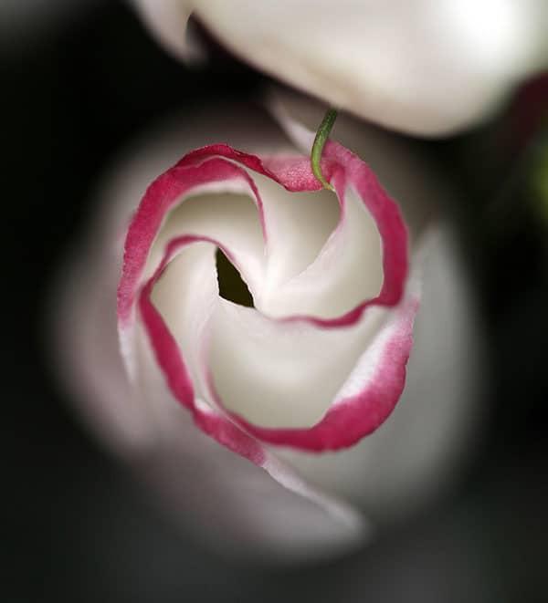 Pink Rim Lisianthus Flower