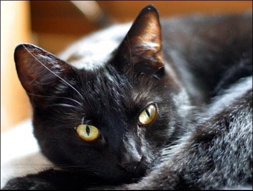Black-Cat-Dare-Stare-cool-black-background