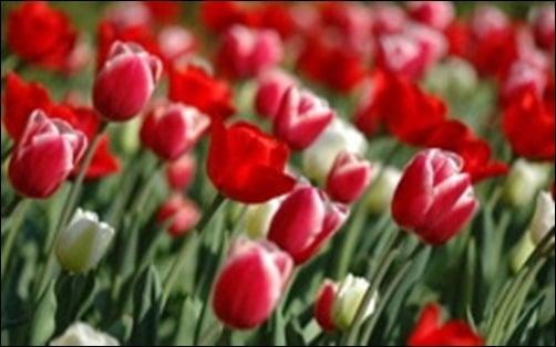 Tulips-in-Spring-spring-wallpaper