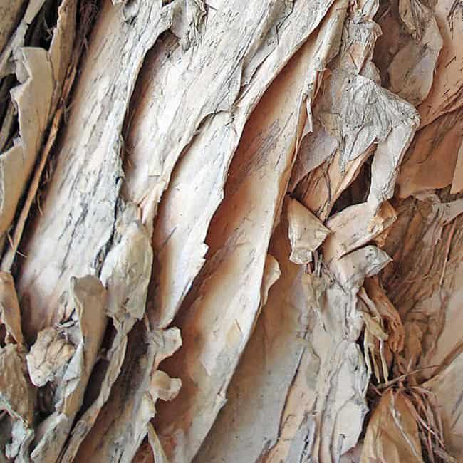 Paper Bark Tree Texture