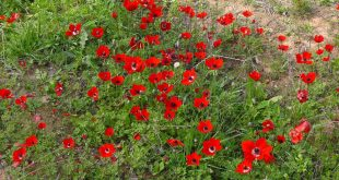 Anemone coronaria near Shokeda, Israel Photo: MathKnight and Zachi Evenor