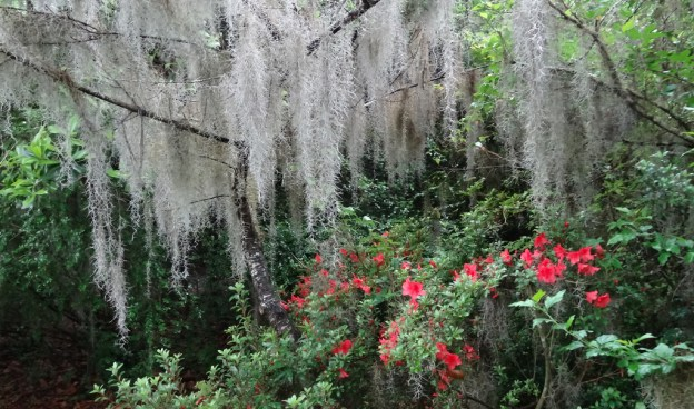 Spanish Moss ( Tillandsia usneoides)  with azalea at Magnolia former slave Plantation South Carolina.