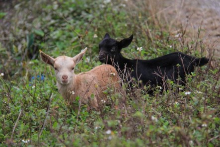 A white and black baby goat.