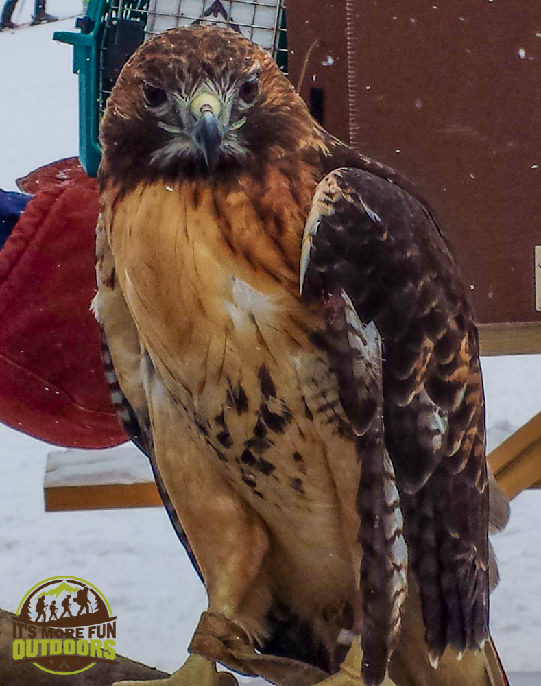 2.14.15: Red Tailed Hawk. Whiteface Mountain Olympic Ski Center - the good folks from the Adirondack Wildlife refuge were there to educate people about native wildlife and the impact of human presence in their habitats.