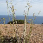 Plantas de Formentera