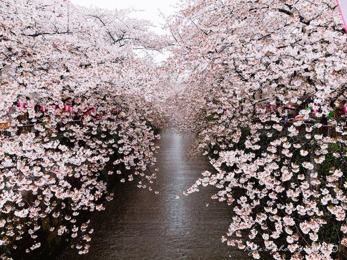21 Most Beautiful Japanese Cherry Blossom Photos - Cherry blossoms over the river