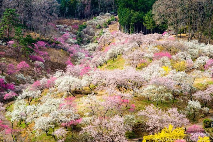 21 Most Beautiful Japanese Cherry Blossom Photos - Cherry trees in blossom