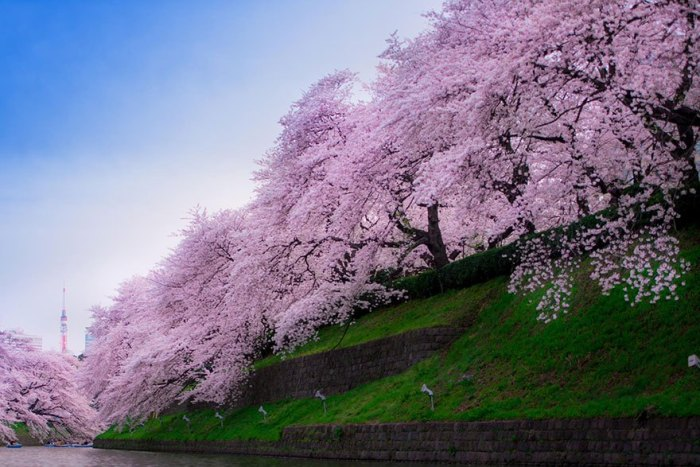 21 Most Beautiful Japanese Cherry Blossom Photos - Chidorigafuchi is famous for the view point of cherry blossoms in Tokyo. You can find the Tokyo Tower, too