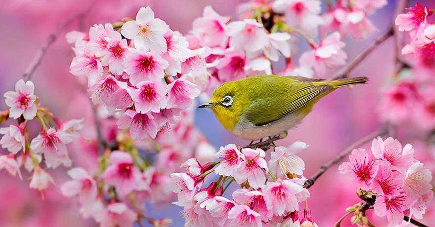 21 Most Beautiful Japanese Cherry Blossom Photos