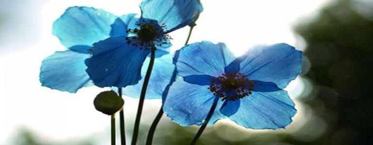 mavi-cicek