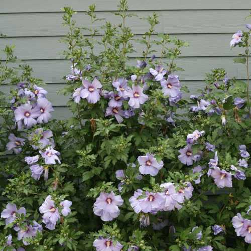 Medium Of Rose Of Sharon Hibiscus