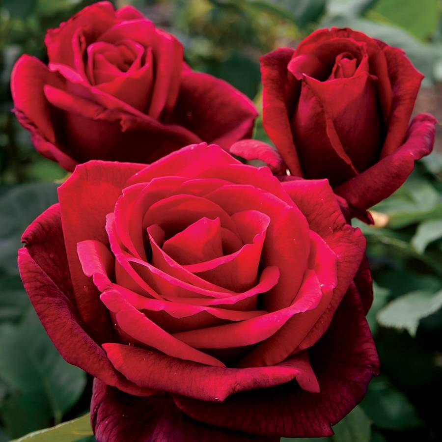 Fall Pictures For Wallpaper Free Mister Lincoln Hybrid Tea Rose