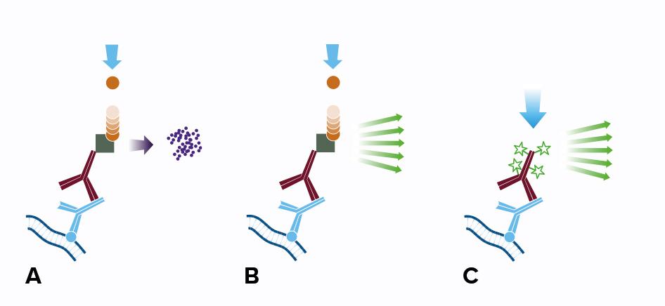 Western Blot Secondary Antibodies - Jackson ImmunoResearch - western blot