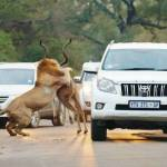 Leões atacam antílope na presença de turistas atordoados no meio da estrada