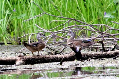 Female and juvenile wood ducks