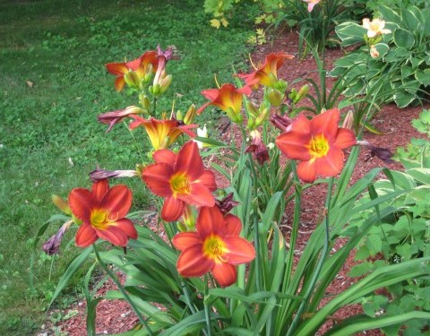 Orange flowers from yard