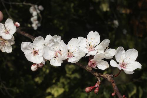 plum tree flowers