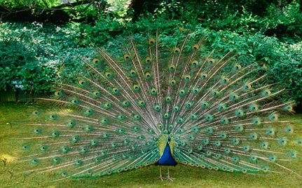Hemant Name 3d Wallpaper Peacock The National Bird Of India Facts At A Glance