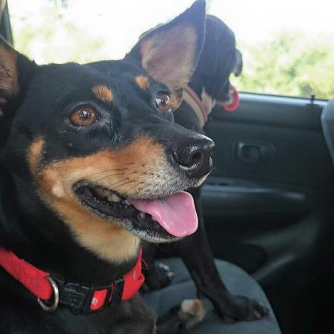 Shelby on her way to meet her new family ( accompanied by Toby 😃) . We hope you like your new family Shelby !!