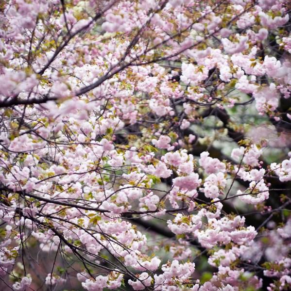 Cerisier en fleurs printemps Japon