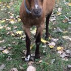 Two goats were injured in an attack at the Arnold Arboretum Wednesday, Sept. 28, 2016.
