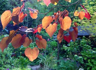 Cercis_Forest_Pansy