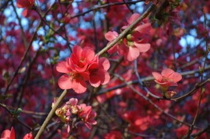 quince_red-closeup.1280