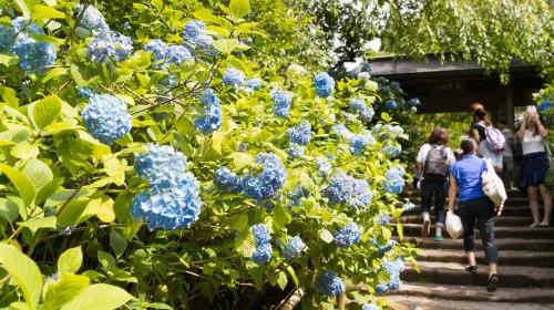 6月が見頃のおすすめ観光地 あじさいの名所 明月院 Beautiful Hydrangeas at Meigetsu-in, Kamakura