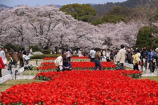 Falling Cherry Blossoms Wallpaper Cherry Blossom Report 2010 Kyoto Report