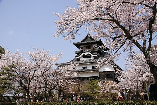 Falling Cherry Blossoms Wallpaper Cherry Blossom Report 2010 Inuyama Report