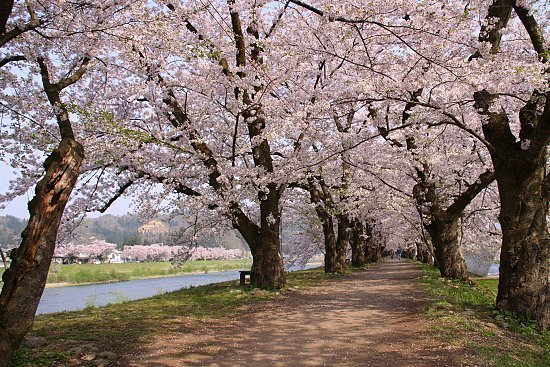 Falling Cherry Blossoms Wallpaper Cherry Blossom Report 2010 Kakunodate Report