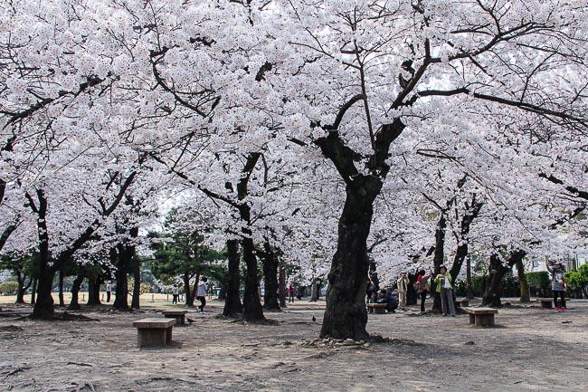 Falling Cherry Blossoms Wallpaper Cherry Blossom Report 2014 Matsumoto Report