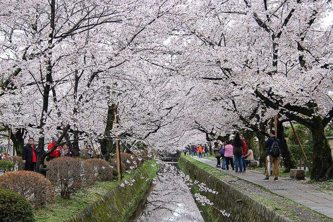 Falling Cherry Blossoms Wallpaper Cherry Blossom Reports 2016 Kyoto Full Bloom