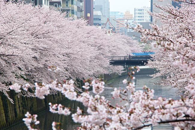 Falling Cherry Blossoms Wallpaper Cherry Blossom Reports 2016 Tokyo Full Bloom