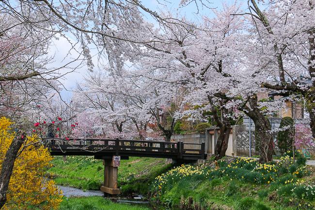 Falling Cherry Blossoms Wallpaper Cherry Blossom Reports 2016 Mount Fuji Petals Falling