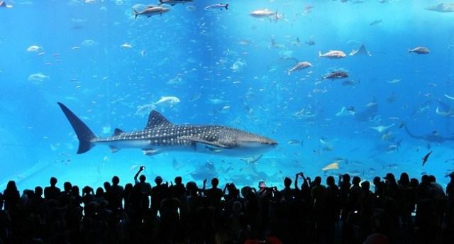 Aquarium in Okinawa is widely considered Japan's best aquarium