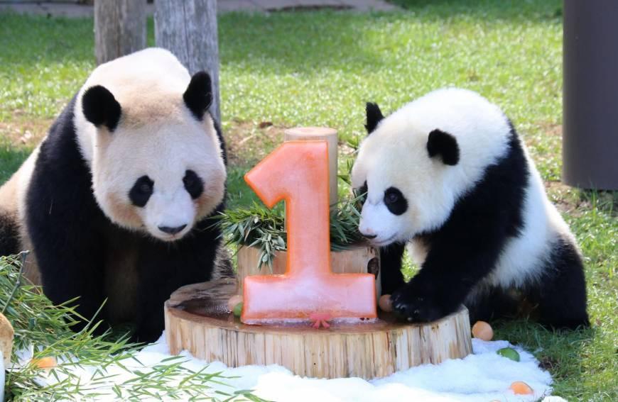 Gambar Wallpaper Cute Wakayama Zoo Celebrates Baby Panda Yuihin S First Birthday