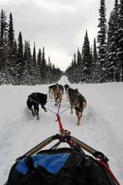 Dog sledding in Banff National Park in the Canadian Rockies.