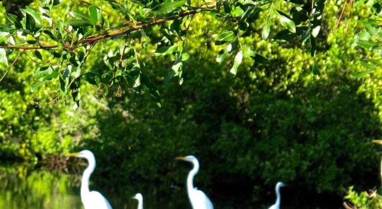Great White Egrets