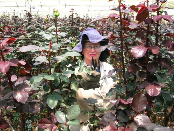Según cifras oficiales, el 60% de la fuerza laboral en el sector floricultor es femenina.