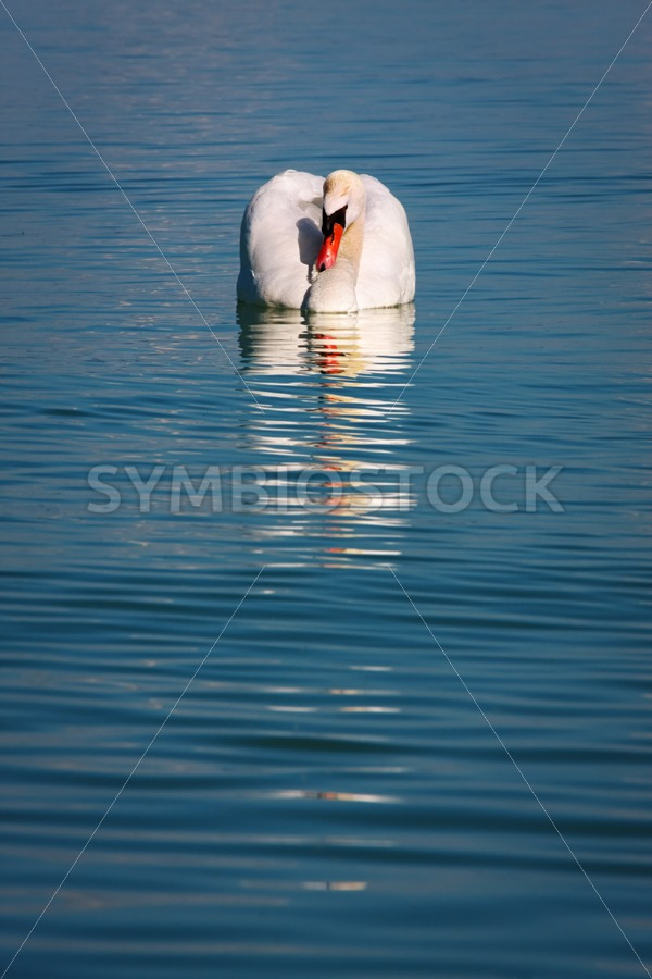 Beautiful swan reflecting in the water - Jan Brons Stock Images