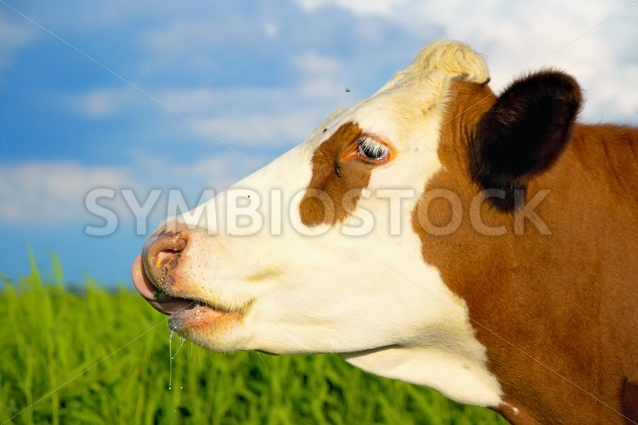 Brown white cow looking straight ahead. - Jan Brons Stock Images