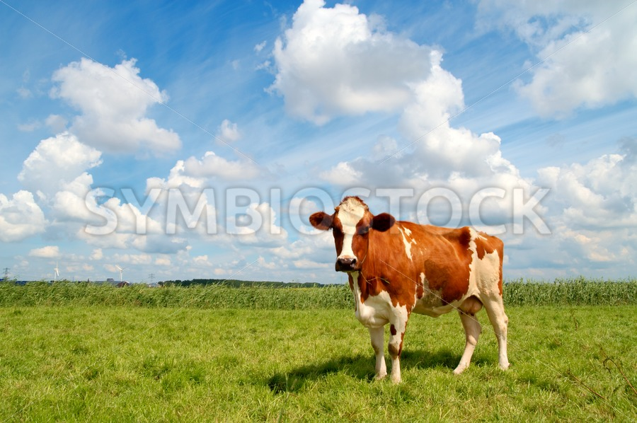 Curious cow standing on meadow