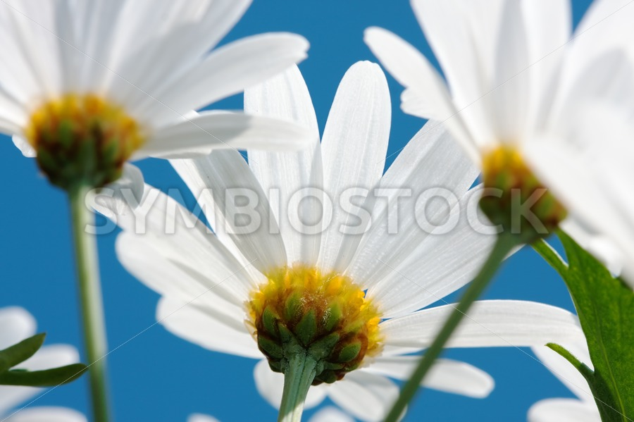 Daisy close-up - Jan Brons Stock Images